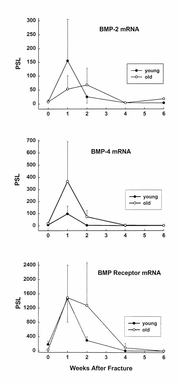 Change in the mRNA expression of BMP-2 (top), <t>BMP-4</t> (middle), and the type IA BMP receptor (bottom) with time after mid-diaphyseal femoral fracture in rats at 6 weeks (younger) and 15 months (older) of age. The data are presented as in Fig. 1 .