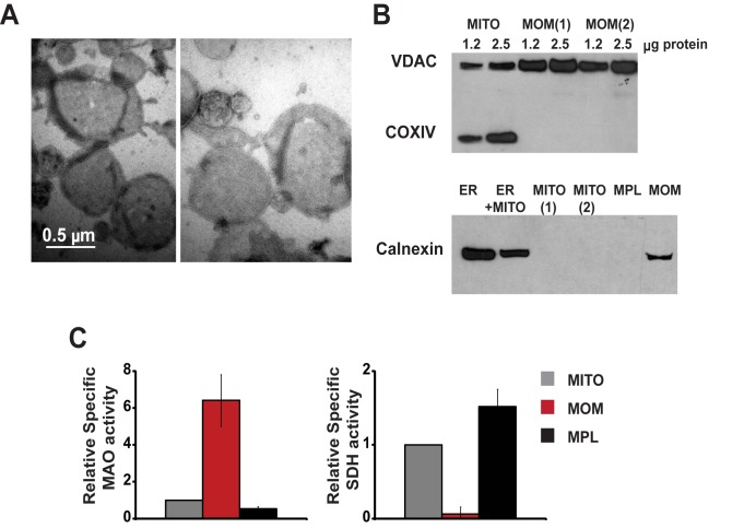 Mitochondrial outer membranes isolated from rat liver form vesicles that are essentially devoid of the mitochondrial inner membrane. Negatively stained outer membrane vesicles (OMVs) were visualized by electron microscopy (A). The purity of OMVs was evaluated by Western blot analysis (B) and by measurements of enzyme activities (C) of marker proteins: VDAC and monoaminooxidase (MAO) for the mitochondrial outer membrane (MOM); cytochrome c oxidase subunit (COXIV) and succinate dehydrogenase (SDH) for the inner membrane; and calnexin for the ER. Shown in (B) are mitochondria (MITO) and two preparations of MOM (upper panel); ER and light mitochondrial fraction (ER+MITO) in comparison with two preparations of mitochondria, mitoplasts (MPL), and MOM (lower panel). Samples were loaded at 2.5 µg of protein or as indicated. (C) Specific SDH and MAO activities in MOM and mitoplasts relative to the corresponding activities in whole mitochondria. Activities were measured in four to six preparations and data are presented as means ± S.E.