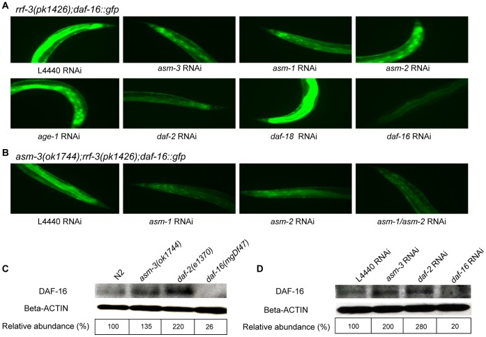 Loss of asm induces the nuclear localization of DAF-16::GFP fusion protein and affects the DAF-16 protein levels. (A) and (B) DAF-16::GFP cellular distributions were examined by fluorescence microscopy and tail regions of animals were shown here. For images on the body and head regions of the animals, see Figure S5 . Animals were examined on adult day 1 (A) or day 4 (B). (A) In the rrf-3(pk1426);daf-16::gfp mutant background, vector control (L4440) RNAi showed that DAF-16::GFP diffusely localized in the cytoplasm, while asm-3 , asm-1 or asm-2 RNAi each induced the nuclear localization of DAF-16::GFP. RNAi inactivation of daf-2 and age-1 (positive controls) and RNAi inactivation of daf-16 and daf-18 (negative controls) were carried out in parallel. (B) In the asm-3(ok1744);rrf- 3(pk1426);daf-16::gfp mutant background, RNAi knockdown of asm-1 , asm-2 or asm-1/asm-2 (double RNAi of asm-1 and asm-2 ) further induced the nuclear localization of DAF-16::GFP protein. (C) and (D) western blot analysis of endogenous DAF-16 protein levels. (C) Increased DAF-16 protein levels were observed in the asm-3(ok1744) and daf-2(e1370) mutants as compared with that of wild-type control. Lysates were prepared from adult day 1 animals. (D) RNAi knockdown of asm-3 or daf-2 each elevated DAF-16 protein level as compared with that of vector control (L4440) RNAi. The specificity of the immunodetection was verified by the disappearance of DAF-16 protein in the daf-16(mgDf47) null mutants or in animals treated with daf-16 RNAi. Lysates were prepared from RNAi-treated, adult day 2 animals. In (C) and (D), quantification of the relative abundance of DAF-16 proteins was shown with the DAF-16 protein levels being normalized against the beta-actin protein levels using the ImageJ software.