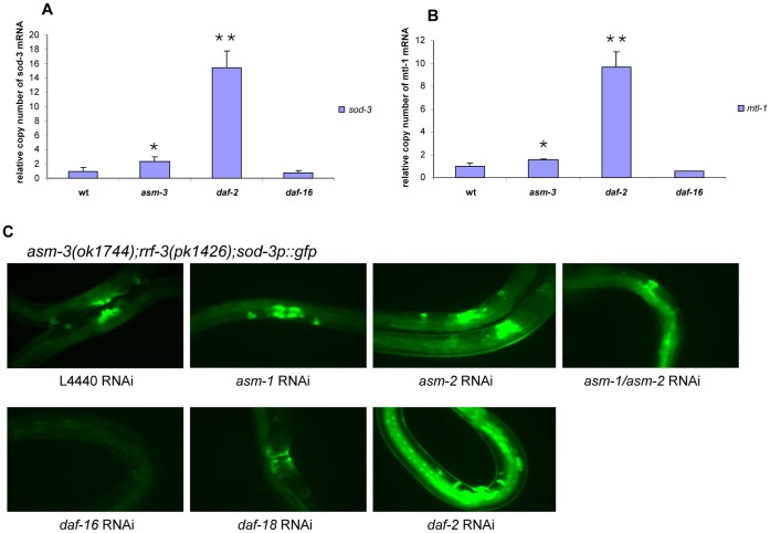 qRT-PCR for DAF-16/FOXO transcriptional activity and sod-3p::gfp reporter. (A) By qRT-PCR, mRNA expression of endogenous sod-3 gene was increased about 3-fold in the asm-3(ok1744) mutant animals as compared to the wild-type (N2) animals (T-test *P