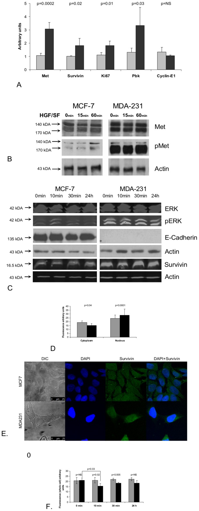 Molecular analysis of Met kinetic signature- mRNA and protein levels of selected genes in high and low Met expressing cells. (A) Total cellular RNA, was isolated from low (MCF7) and high Met (MDA231) cell cultures and mRNA expression of Met, Survivin, Pbk, Cyclin E1 and Ki67 was evaluated by quantitative real time PCR and compared mRNA levels of the housekeeping GAPDH gene. The primers used for the quantification of gene expression are listed in Table S2 . A gray box denotes MCF7 cell line samples and a black box denotes MDA231 cell line samples (B) Samples from low (MCF7) and high Met (MDA231) cells were subjected to western blot (WB) analysis, before and 15 min and 60 min after treatment with HGF/SF, using antibodies against Met and activated Met (p-Met) and (C) antibodies against ERK K-23, p-ERK E-4, E-Cadherin, Survivin and Actin C4. (D, E) Subcellular localization of survivin in fluorescence (IF) analysis of Low (MCF7) and high Met (MDA231) cells after treatment with HGF/SF at 0 min, 10 min, 30 min and 24 h. The cells were Immunostained using anti-Survivin antibody. Immunofluorescence was examined using a <t>510</t> Meta <t>Zeiss</t> confocal laser scanning microscope (CLSM). Survivin quantification was performed on at least five confocal images per slide. Cell outline was defined based on Nomarski images; nuclei were defined based on the DAPI staining. Average pixel intensity was calculated separately for the nucleus and cytoplasm areas. (F) IF analysis of temporal kinetics of Survivin protein expression following treatment with HGF/SF .