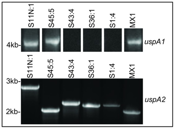 Identification of uspA genes from Mx CEACAM-binding variants. PCR of Mx S11N:1, S1:4, S36:1, S43:4, S45:5 and MX1 as indicated for uspA1 (upper panel) and uspA2 (lower panel). uspA1 PCR gave no bands for uspA1 in strains S1:4, S36:1 and S43:4 whereas larger than expected bands were observed for S11N:1, S45:5 and MX1. PCR products were obtained for uspA2 for all strains tested. Data are representative of PCR products obtained on several occasions.