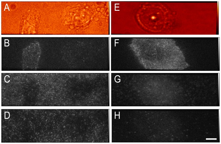 Representative images of cells exposed to labelled proteins. Panel A–D: representative images of CHO-EGFR-eGFP cells grown on uncoated glass. Whitelight (A), anti-EGFR Affibody Atto 647N (B), anti-EGFR Affibody Alexa 546 (C), and EGFR-eGFP (D). Panels E–H: representative images of CHO-EGFR-eGFP cells grown on linear-PEG +0.4 mM GRGDS peptide-coated glass. Whitelight (E), Anti-EGFR Affibody Atto 647N (F), anti-EGFR Affibody Alexa 546 (G), and EGFR-eGFP (H) (bar 8 µm).