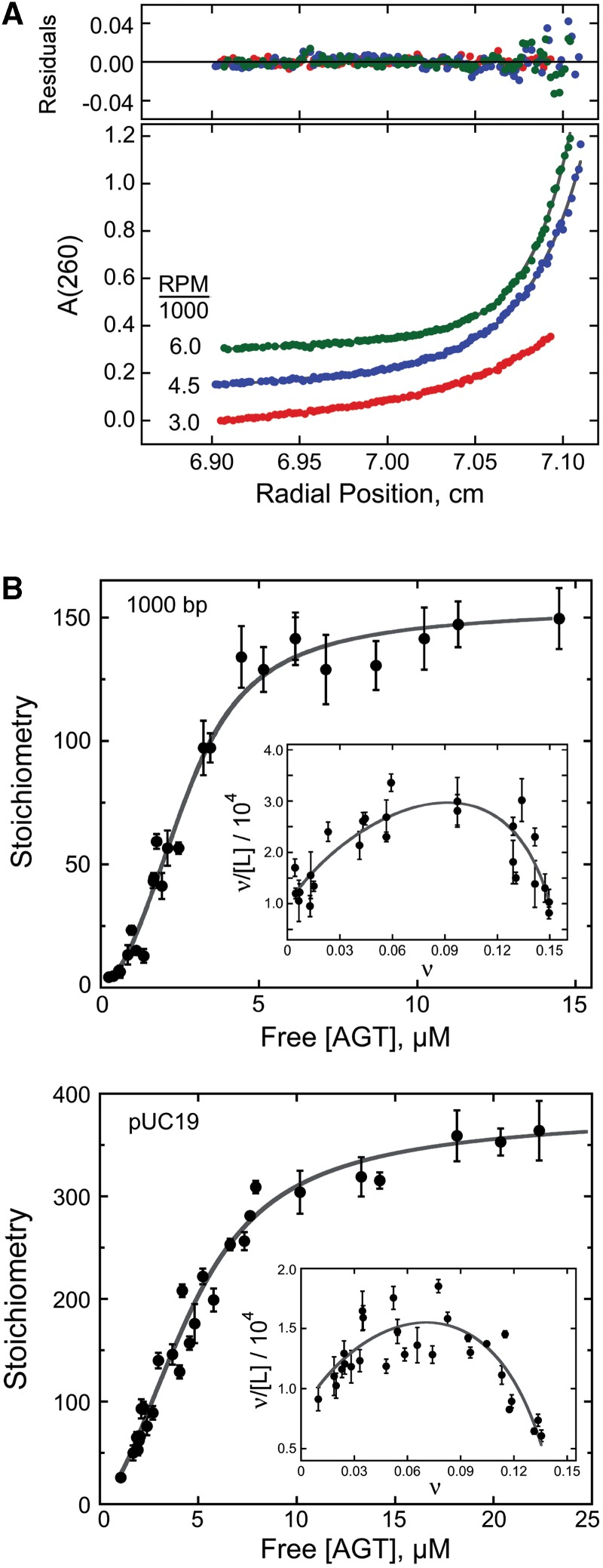 Analysis of AGT–DNA interactions by analytical ultracentrifugation. ( A ) Sedimentation equilibrium data for an AGT–DNA mixture obtained at 20 ± 0.1°C. This sample contained the 1000-bp DNA fragment (0.015 µM) and AGT protein (3.5 µM) in 10 mM Tris (pH 7.6 at 20°C), 1 mM EDTA, 100 mM NaCl and 1 mM DTT. Radial scans taken at 3000 rpm (red), 4500 rpm (blue) and 6000 rpm (green) are shown with vertical offsets for clarity. The smooth curves correspond to fits of equation 1 to these data. Small, symmetrically distributed residuals (upper panel) indicate that the two-species model represented by equation 1 is consistent with the mass distributions of DNA in these samples. ( B ) Dependence of binding stoichiometry on free AGT concentration for the 1000-bp fragment (upper panel) and linear pUC19 DNA (lower panel). Stoichiometries were inferred from weight-average molecular weights measured at sedimentation equilibrium. Error bars are 95% confidence limits for the individual parameters. The smooth curve is an isotherm calculated with equation 4 using parameters determined from the Scatchard plots shown in the insets. Insets: Scatchard plots for the data ensembles shown in the main panels. The solid curves are fits of equation 4 , returning K = 9667 ± 1499, ω = 35.9 ± 6.8 and s = 6.32 ± 0.12 for binding the 1000-bp fragment and K = 7960 ± 916, ω = 44.2 ± 3.8 and s = 6.81 ± 0.14 for binding linear pUC19 DNA.