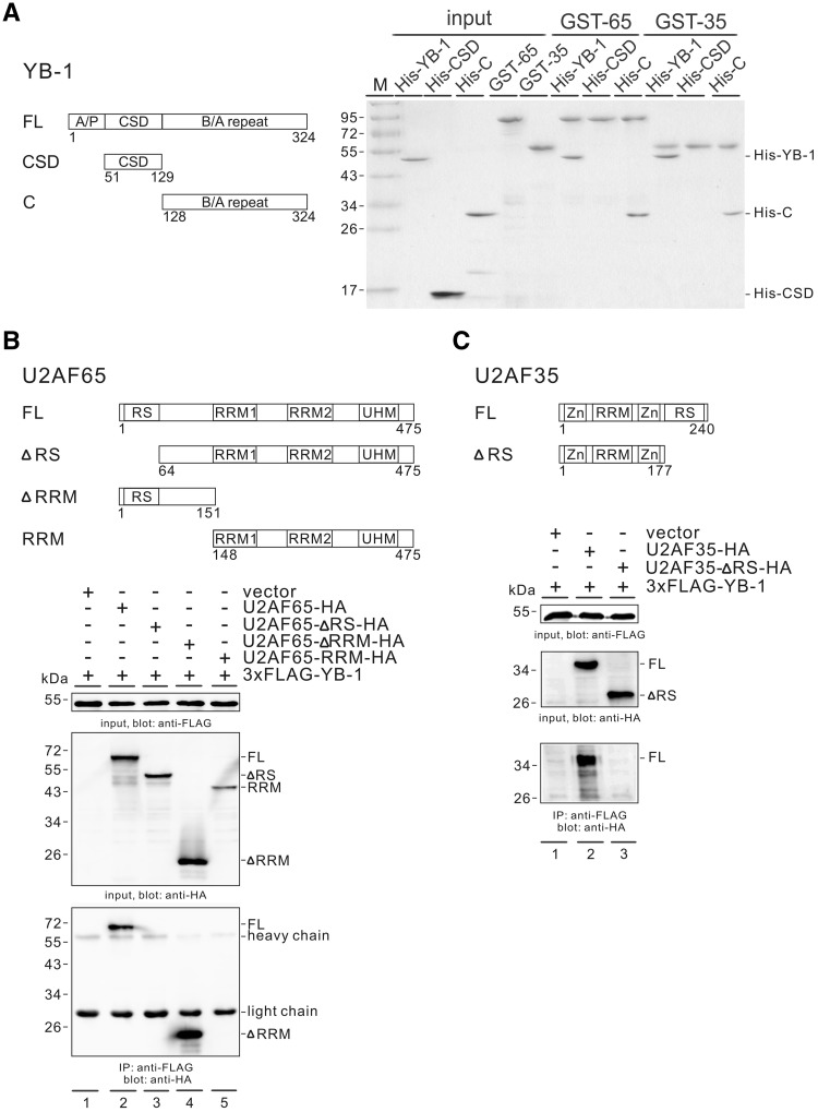 Both the C-terminal domain of YB-1 and the RS domains of U2AF are important for the interaction between YB-1 and U2AF proteins. ( A ) In vitro GST pull down assay. Left panel: domain structure of full-length YB-1 and its mutants. Right panel: the GST-U2AF65 and GST-U2AF-35 proteins immobilized on glutathione-Sepharose were incubated with recombinant His-tagged full-length YB-1, its CSD and C-terminal domain proteins. After washing, the bound proteins were separated by SDS-PAGE and visualized by Coomassie blue staining. ( B , C ) Upper panels: domain structure of full-length U2AF and its mutants. RS: arginine/serine-rich domain; RRM: RNA recognition motif; UHM: U2AF homology motif; Zn: zinc finger domain. Lower panels: Co-IP of YB-1 and U2AF proteins. FLAG-tagged YB-1 was co-expressed with a vector (lane 1 in 7 A and 7B), HA-tagged U2AF65 (7 A, lane 2), HA-tagged U2AF65 mutants (7 A, lane 3–5), HA-tagged U2AF35 (7B, lane 2) or HA-tagged U2AF35-ΔRS (7B, lane 3) in HEK 293 cells. The expressed proteins in the cell lysates were detected by western blotting using anti-FLAG or anti-HA antibody. Cell lysates pre-treated with RNase A were immunoprecipitated with anti-FLAG antibody and immunoblotted with anti-HA antibody.