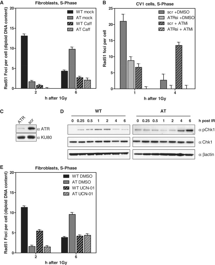Rad51 focus formation in AT cells depends on functional <t>ATR.</t> ( A ) WT and AT cells were pre-treated with 10 mM caffeine for 2 h and pulse-labeled with EdU shortly before IR (1 Gy). Rad51 foci were recorded 2 and 6 h later in EdU-positive cells. Not only the foci number declined upon caffeine treatment but also the size of the remaining foci was reduced (see also Supplementary Figure 5 ). ( B ) Quantification of Rad51 foci in EdU-positive CV-1 cells treated with ATR <t>siRNA</t> ( C ) and scrambled control without ATM inhibition (10 µM KU55933). ( D ) Western blot of Chk1 expressed in WT and AT cells irradiated with 10 Gy. ( E ) WT and AT cells were EdU-labeled, irradiated with 1 Gy and during repair continuously exposed to the Chk1 inhibitor UCN-01 (0.1 µM). Quantification of Rad51 foci 2 and 6 h after IR in EdU-positive cells.