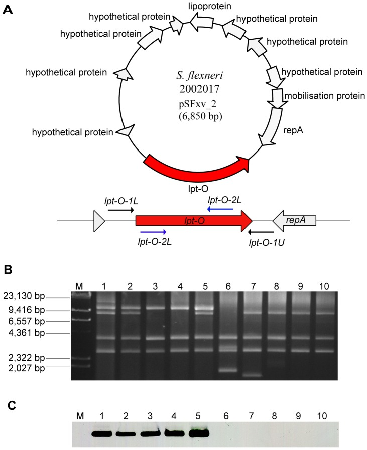 Genomic structure and the presence of plasmid pSFxv_2 in serotype Xv and X strains. A , genomic structure of plasmid pSFxv_2. ORFs were shown as thick arrows, and encoding regions were marked according to the genome annotation (accession No. CP001385). The specific lpt-O gene was marked in red color, and primers positions were indicated using thin arrows. B , plasmid profiles of serotype Xv strains 2002017, 2008129, 2008131, 05AH022 and 05AH027 (lanes 1–5, respectively) and X strains 06HN400, 05BJ002, 03HL001, 03HL020 and 2003055 (lanes 6–10, respectively) strains. Plasmid DNA was separated by electrophoresis with a Chef Mapper system (Bio-Rad) on a 1% SeaKem Gold agarose gel and visualized by EB staining. Plasmids isolated from strain 2002017 (lane 1) were used as control. Lambda DNA cleaved with HindIII (TaKaRa, Japan) was used as molecular mass markers. C , Southern hybridization detection of the lpt-O gene in serotype Xv strains. PCR product amplified from strain 2002017 using primer pair lpt-O -2 was prepared as probe.