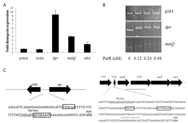 Identification of PerR regulon in S. <t>suis.</t> (A) Relative expression levels of genes dpr , metQ , relA , pmtA and sodA in strain Δ perR compared to its parental strain SC-19. Relative abundance of the transcripts was determined by real-time <t>RT-PCR</t> from the total RNAs derived from strains Δ perR and SC-19 in mid-log phase. gapdh was used as the internal control. (B) Different concentration of PerR proteins binds to dpr and metQIN promoters (500 bp and 300 bp respectively), gidA promoter (300 bp) was used as the negative control. (C) The structure of the dpr and metQIN promoters. -10 and −35 regions of the promoters are shown by the boxes. The start codon is labeled by blod fonts. The predicted PerR-box is underlined.