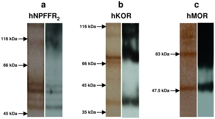 Purity of GPCR-enriched samples used as immunogens. Recombinant hNPFFR 2 (a), hKOR (b) and hMOR (c) with six histidine residues and a c-myc tag fused to their C-terminus were over-expressed in Pichia Pastoris . GPCR-enriched crude fractions obtained by differential centrifugation of GPCR-expressing yeast cell lysates were solubilized and then chromatographed on a nickel affinity column. Ni-bound GPCRs were eluted with imidazole-containing buffer. GPCR-enriched samples run in SDS-polyacrylamide gels were stained by silver nitrate (left panels) or probed with anti-c-myc monoclonal antibody after transfer onto PVDF membrane (right panels).