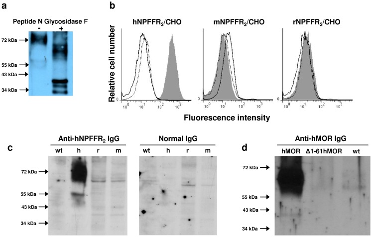Specificity of anti-GPCR serum IgG. ( a ) Anti-hNPFFR 2 IgG binding to deglycosylated hNPFFR 2 receptor. Total cell membrane prepared from hNPFFR 2 -expressing CHO cells were incubated (+) or not (−) with Peptide N Glycosidase F enzyme for 1 hour at 37°C. Membrane protein extracts were run on SDS-polyacrylamide gels and then probed with anti-hNPFFR 2 serum IgG after transfer onto PVDF membrane. The ability of anti-hNPFFR 2 antibodies to discriminate human NPFFR 2 used for immunization from highly homologous NPFFR 2 of murine origin was examined by cytofluorometry ( b ) and Western-blotting ( c ). In ( b ), anti-hNPFFR 2 serum IgG were incubated with wild-type CHO-K1 cells (open histogram) or CHO cells expressing NPFFR 2 (grey histogram) originating from human (hNPFFR 2 /CHO, left panel), mouse (mNPFFR 2 /CHO, middle panel) and rat (rNPFFR 2 /CHO, right panel) for 30 min at 4°C. Bound IgG were then revealed with biotin-conjugated goat anti-mouse antibodies followed by an additional incubation with allophycocyanin-labeled streptavidin. Staining of NPFFR 2 -expressing CHO cells by control serum IgG from normal non-immunized mice is shown in dotted lines. The figure shows one representative experiment out of 3 performed. In ( c ), membrane protein lysates from wild-type CHO-K1 (wt), hNPFFR 2 /CHO (h), mNPFFR 2 /CHO (m) and rNPFFR 2 /CHO (r) were run on SDS-polyacrylamide gels and then probed with either anti-hNPFFR 2 serum IgG (left panel) or normal serum IgG from non-immunized mouse (right panel) after transfer onto PVDF membrane. ( d ) The ability of anti-hMOR antibodies to bind to NH 2 -terminal extracellular segment of the hMOR was determined by Western-blotting. Cell membrane proteins from wild-type CHO-K1 (wt) and CHO cells expressing full-length (hMOR) or NH 2 -terminal truncated (Δ1-61hMOR) human MOR were probed with anti-hMOR serum IgG.