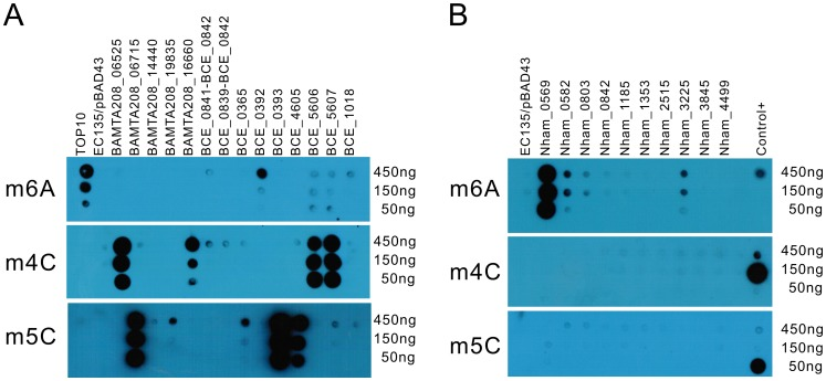 """Dot blot assay for individual MTase activity. Serially diluted DNA (450 ng–150 ng) was used to test the in vivo methylation by MTases. (A) DNA methylated by the MTases from B. amyloliquefaciens TA208 and B. cereus ATCC 10987. (B) DNA methylated by the MTases from N. hamburgensis X14. Antibodies against m6A, m4C, and m5C were used in the upper, middle, and lower panels, respectively. DNA from the E. coli EC135 strain harboring pBAD43 was used as negative control. The identical DNA, 150 ng DNA of the E. coli <t>TOP10</t> strain, 150 ng of E. coli EC135 DNA in vivo methylated by M.BamHI and 150 ng of E. coli EC135 DNA in vivo methylated by M.AluI (arranged from top to bottom), were used as controls in each """"Control+"""" column for the m6A, m4C, and m5C experiments. All experiments were repeated at least three times, and representative results are shown."""