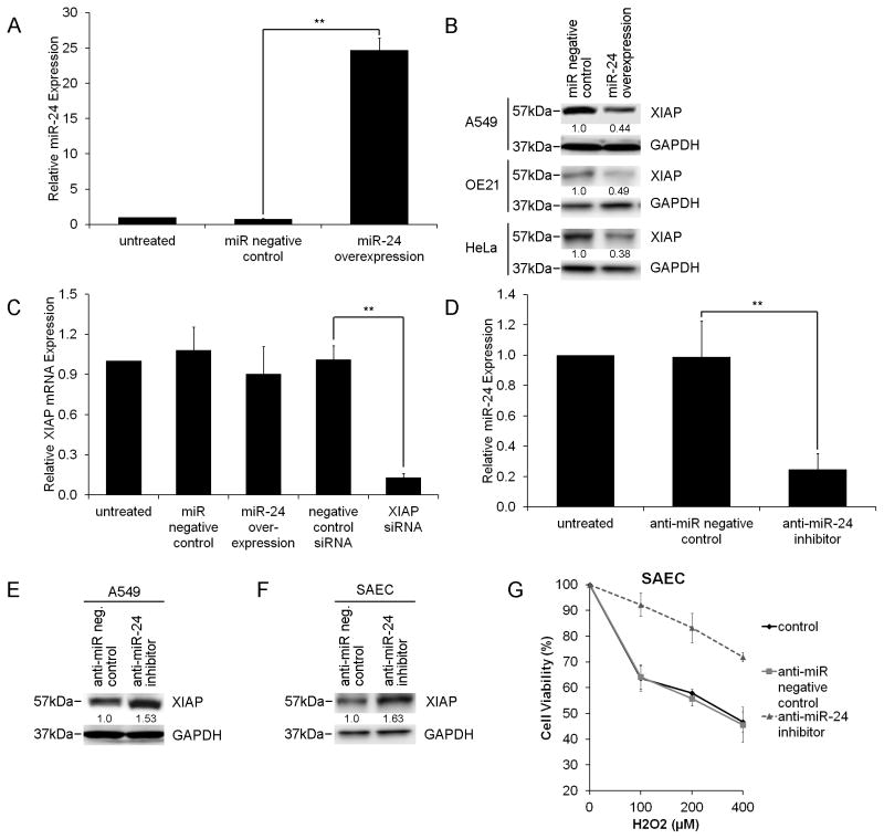 miR-24 modulates XIAP expression. ( A ) Transfection of pre-miR-24 in A549 cells results in a 23-fold increase in miR-24 expression compared to miR negative control. Bars represent miR-24 expression relative to control and standard deviation from triplicate experiments (**p