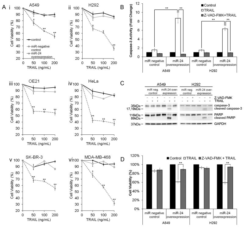 miR-24-mediated XIAP suppression restores TRAIL-induced apoptosis in TRAIL-resistant cells. ( A ) Cell viability of A549 ( i ), H292 ( ii ) OE21 ( iii ), HeLa ( iv ), SK-BR-3 ( v ), and MDA-MB-468 ( vi ) cells following a 48-hour transfection with pre-miR-24 or miR-negative control and an additional 48h treatment with increasing concentrations of soluble TRAIL (*p