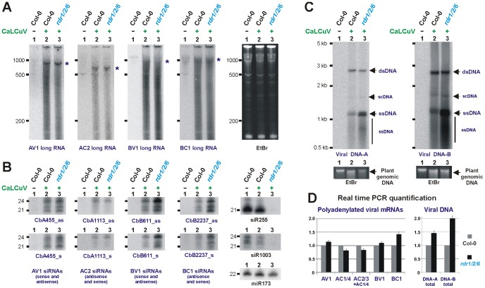 Accumulation of long viral nucleic acids and vsRNAs in wild type versus rdr1/2/6 triple mutant plants. Total RNA and total DNA from CaLCuV-infected Arabidopsis wt (Col-0) and rdr1/2/6 plants was analyzed by RNA blot hybridization using 5% ( A ) and 15% ( B ) PAGE and by Southern blot hybridization ( C ). The RNA blot membranes were successively hybridized with mixtures of DNA oligonucleotide probes complementary to respective viral mRNAs (for sequences, see Protocol S1 ) and, in the case of sRNA analysis, single DNA oligonucleotide probes specific for vsRNA of sense or antisense polarity and the endogenous Arabidopsis miRNA (22 nt miR173), tasiRNA (21 nt siR255) and hcsiRNA (24 nt siR1003). The Southern blot membranes were hybridized with long dsDNA probes specific for DNA-A or DNA-B. Positions of co-migrating forms of viral DNA including open-circular double-stranded (dsDNA), supercoiled (scDNA) and single-stranded (ssDNA) are indicated by arrows; the smear of shorter (than monomeric) ssDNA is also indicated. EtBr staining of total RNA ( A ) or plant genomic DNA ( C ) is shown as loading control. The size markers are indicated on each scan. Positions of viral mRNAs are indicated by asterisks. ( D ) Real time qPCR measurement of relative accumulation of viral polyadenylated mRNAs (left) and total viral DNAs A and B (right) in wild type versus rdr/1/2/6 mutant plants. For each mRNA and each DNA, the accumulation level in the wild type sample is set to 1.