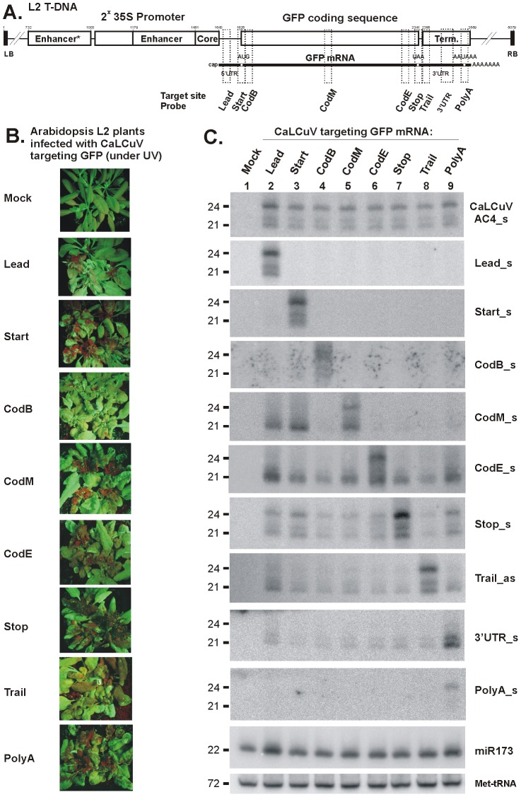 VIGS phenotypes and accumulation of primary and secondary siRNAs in L2 transgenic plants infected with CaLCuV::GFP viruses targeting the GFP transcribed region. ( A ) The L2 T-DNA region containing the 35S-GFP transgene is shown schematically. Positions of the duplicated CaMV 35S enhancer and core promoter elements, GFP mRNA elements including 5′UTR, translation start (AUG) and stop (UAA) codons and 3′UTR with poly(A) signal (AAUAAA), and 35S terminator sequences indicated. Numbering is from the T-DNA left border (LB). The VIGS target sequences, inserted in the CaLCuV::GFP viruses Lead , CodB, CodM, CodE, Trail and polyA , are indicated with dotted boxes; ( B ) Pictures under UV light of L2 transgenic plants infected with the above viruses; ( C ) Blot hybridization analysis of total RNA isolated from plants shown in Panel B. The blot was successively hybridized with short DNA probes specific for CaLCuV AC4 gene (AC4_s) and 35S::GFP transgene sequences inserted in the CaLCuV::GFP viruses ( Lead, CodB, CodM, CodE, Trail and polyA ), the GFP mRNA 3′UTR non-target sequence (3′UTR) and Arabidopsis miR173 and Met-tRNA (the latter two serve as loading control).