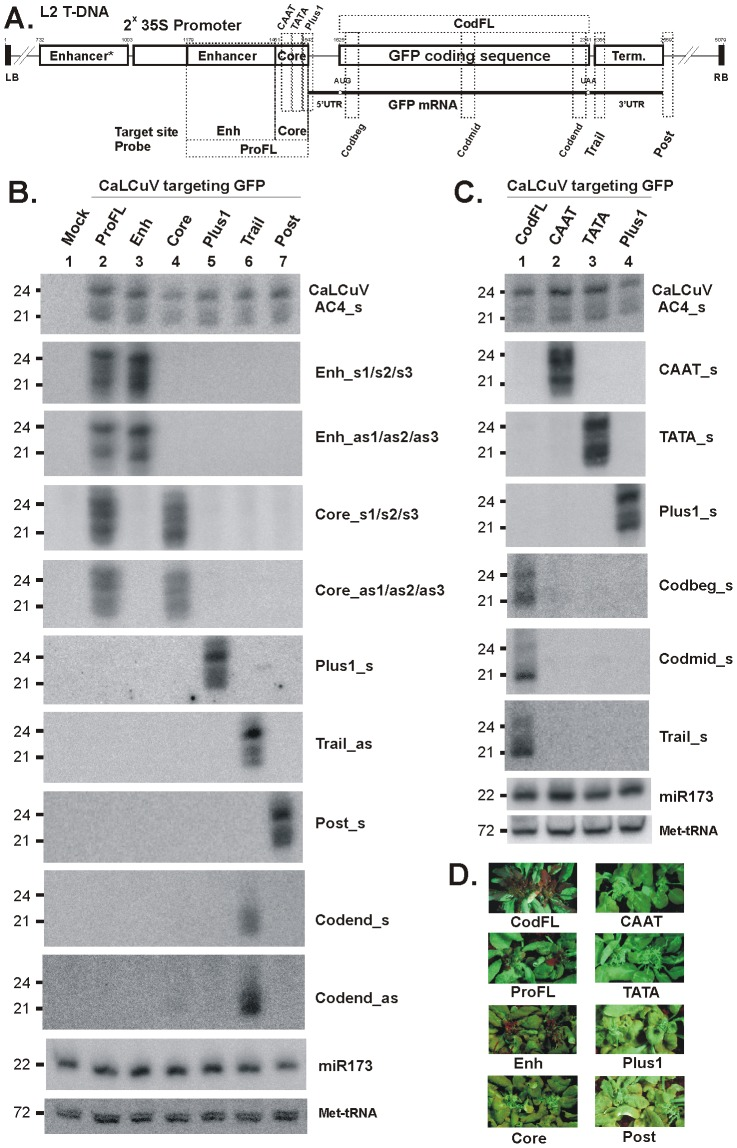 VIGS phenotypes and primary siRNA accumulation in L2 transgenic plants infected with CaLCuV::GFP viruses that target the GFP promoter and terminator elements. ( A ) The L2 T-DNA region containing the 35S-GFP transgene is shown schematically. Positions of the duplicated CaMV 35S enhancer ( Enh ) and core promoter ( Core ) elements (CAAT and TATA boxes and transcription start Plus1 ), the GFP mRNA elements (5′UTR, AUG and UAA codons and 3′UTR, and 35S terminator are indicated. Numbering is from the T-DNA left border (LB). The VIGS target sequences, inserted in the CaLCuV::GFP viruses ProFL, Enh, CAAT, TATA, Plus1, CodFL, Trail and Post are indicated with dotted boxes; ( B ) and ( C ) Blot hybridization analysis of total RNA isolated from L2 plants infected with the above viruses. The two blots were successively hybridized with short DNA probes specific for CaLCuV AC4 gene (AC4_s) and the 35S::GFP transgene sequences inserted in CaLCuV::GFP viruses and Arabidopsis miR173 and Met-tRNA (the latter two serve as loading control). ( D ) Pictures under UV light of L2 transgenic plans infected with the CaLCuV::GFP viruses (names indicated).