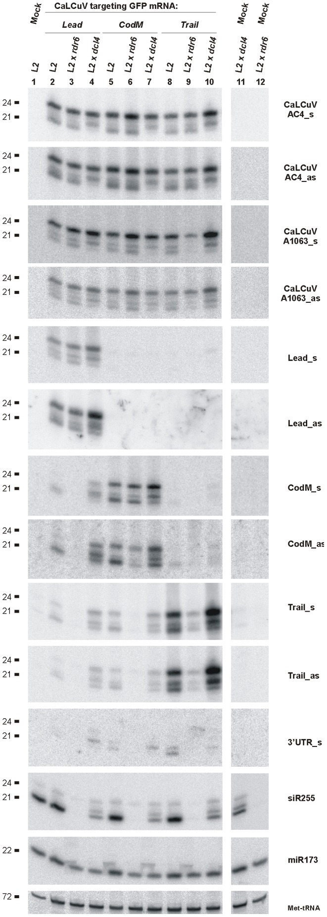 Genetic requirements for primary and secondary siRNA accumulation in L2 transgenic plants. Blot hybridization analysis of total <t>RNA</t> isolated from L2, L2 x rdr6 and L2 x dcl4 plants infected with <t>CaLCuV::GFP</t> viruses Lead, CodM and Trail . The blot was successively hybridized with short DNA probes specific for CaLCuV genes AC4 (AC4_s and AC4_as) and AV1 (A1063_s and A1063_as), 35S::GFP transgene sequences inserted in the CaLCuV::GFP viruses ( Lead, CodM, Trail ), GFP mRNA 3′UTR non-target sequence (3′UTR_s) and Arabidopsis miR173 and Met-tRNA (the latter two serve as loading control).