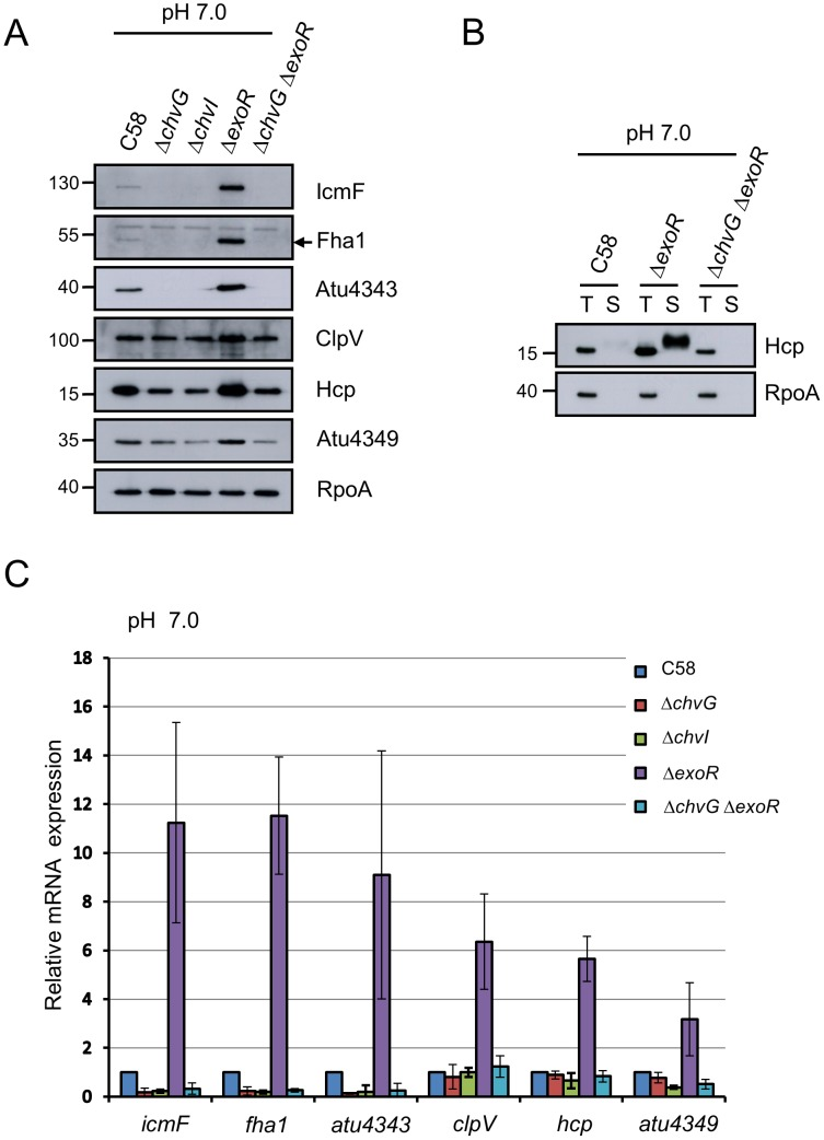 T6SS expression and Hcp secretion are positively regulated by ChvG/ChvI and negatively regulated by ExoR. A. tumefaciens wild-type strain C58, ΔchvG , ΔchvI , ΔexoR , and ΔchvG ΔexoR mutant strains grown in AB-MES (pH 7.0) at 25°C for 6 h were analyzed for T6SS expression and secretion. ( A ) Total proteins were analyzed by western blot analysis with antibodies against C-IcmF, Fha1 (filled arrow), Atu4343, ClpV, Hcp, Atu4349, and RpoA. ( B ) Total (T) and secreted (S) proteins were analyzed by western blot analysis with antibodies against Hcp and RpoA. The non-secreted protein RpoA was an internal control. The positions of molecular mass markers (in kDa) are indicated on the left. ( C ) qRT-PCR analysis of mRNA levels of indicated genes. Data are mean ± SD of 2 biological replicates, each of which contains 3 technical replicates.