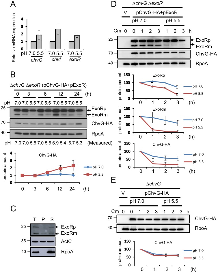 Effect of acidity on expression and protein stability of ChvG and ExoR. ( A ) qRT-PCR analysis of mRNA levels of chvG , chvI , and exoR for wild-type C58 strain grown in AB-MES (pH 7.0 or pH 5.5) at 25°C for 6 h. Data are mean ± SD of 2 biological replicates, each of which contains 3 technical replicates. ( B ) Total proteins isolated from ΔchvG ΔexoR expressing pChvG-HA and pExoR grown in AB-MES (pH 7.0 or pH 5.5) at 25°C for the indicated times underwent western blot analysis with antibodies against ExoR (filled arrow), HA (for detecting ChvG-HA), and RpoA. The protein level of ChvG-HA was quantified and normalized to the level of endogenous RpoA. The amount of ChvG-HA at 0 h was set to 1. Data are mean ± SD of 2 biological replicates. ( C ) Equal volumes of total proteins (T), periplasmic fraction (P), and spheroplast pellets (S) isolated from ΔexoR (pExoR) grown in AB-MES (pH 7.0) at 25°C for 6 h were analyzed by western blot analysis with antibodies against ExoR, ActC, and RpoA. ActC was a control of periplasmic protein. ( D ) Total proteins isolated from ΔchvG ΔexoR containing the empty vector (V) or one of the plasmids expressing pChvG-HA and pExoR grown in AB-MES (pH 7.0) or AB-MES (pH 5.5) in the presence of chloramphenicol at 25°C for the indicated times underwent western blot analysis with antibodies against ExoR (filled arrow), HA (for detecting ChvG-HA), and RpoA. The protein level of precursor ExoR (ExoRp) and mature ExoR (ExoRm), and ChvG-HA were quantified with the level present at 0 h set to 100%. Data are mean ± SD of 3 biological replicates. ( E ) Total proteins isolated from ΔchvG expressing ChvG-HA grown in AB-MES (pH 7.0 or pH 5.5) in the presence of chloramphenicol at 25°C for the indicated times underwent western blot analysis with antibody HA (for detecting ChvG-HA). The protein level of ChvG-HA was quantified with the level present at 0 h was set to 100%. Data are mean ± SD of 2 biological replicates.