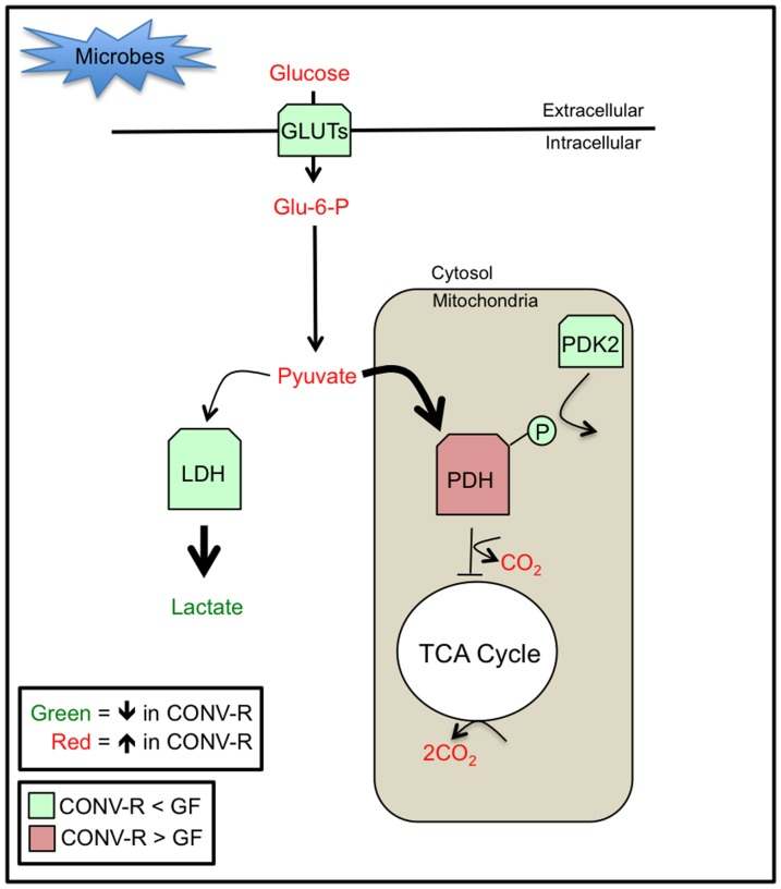 A model of microbial regulation of glucose metabolism in host colonocytes. Microbes increase blood glucose levels and increase <t>PDH</t> levels and activity to facilitate oxidative metabolism of glucose in the mitochondria. In contrast, GF mice are hypoglycemic, and their colonocytes respond by increased expression of GLUTs. Although this leads to increased glucose uptake, Glu-6-P and pyruvate levels are diminished because of their conversion to lactate, which is increased in GF colonocytes. This increase in glycolysis can be attributed to decreased PDH expression/activity and decreased oxidative metabolism in the mitochondria. Not only are PDH levels decreased, but also enzymatic activity is inhibited via phosphorylation of the <t>E1a</t> regulatory subunit due to increased expression of PDK2 in GF colonocytes.