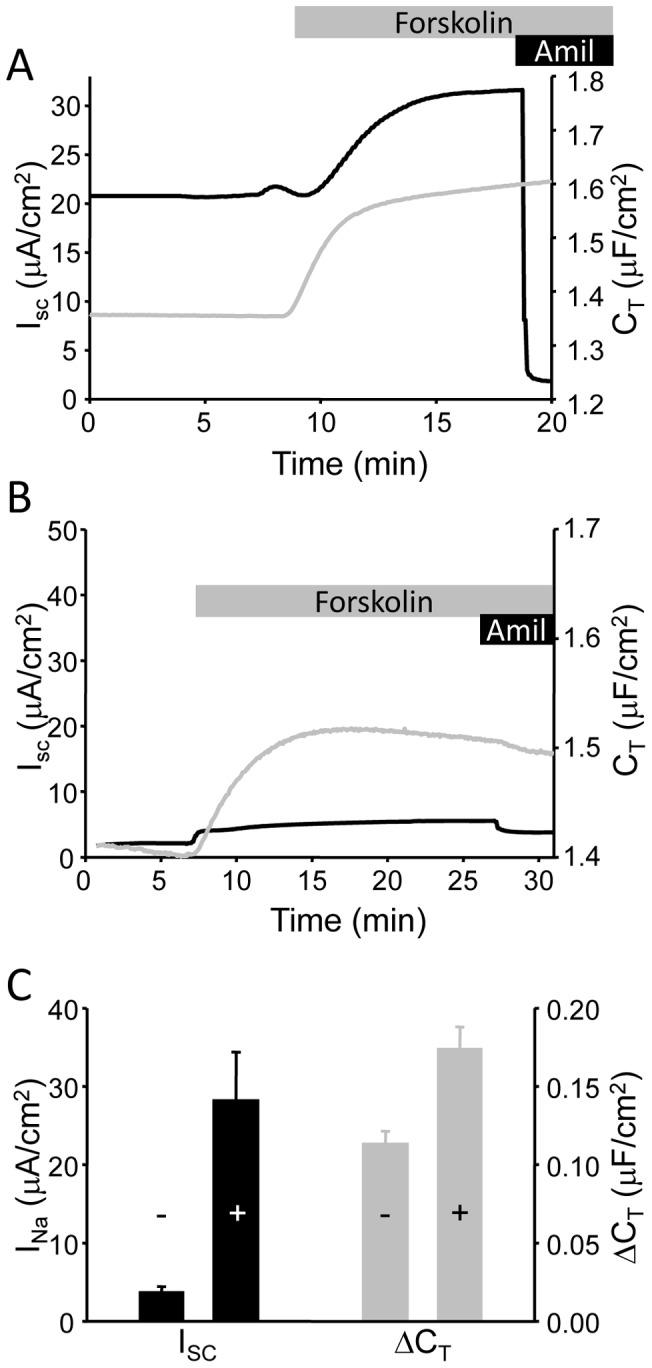 I SC and C T recordings with and without hormonal supplementation. (A) Representative I SC (black trace) and C T (grey trace) recording from mpkCCD cells mounted in modified Ussing chambers and stimulated with (10 µM) <t>forskolin.</t> Addition of 10 µM amiloride at the end of the trace demonstrated the majority of the recorded I SC was Na + transport via ENaC. (B) A similar trace from mpkCCD cells cultured in the absence of dexamethasone supplementation. (C) Summarized data for stimulated amiloride-sensitive current (I Na ) and C T response to forskolin stimulation (n = 14) in cells with (+) and without (-) full supplementation.