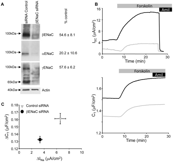 ENaC siRNA reduces I SC and cAMP C T response. (A) Western blots of whole cell lysate from βENaC knockdown demonstrate reduction in expression of ENaC compared to control siRNA transfected mpkCCD cells. The actin-corrected percent reduction in expression (n = 3) are summarized to the right of each representative blot. (B) Representative traces for I SC (top traces) and C T recordings (bottom) for control (black traces) and ENaC knockdown (grey traces) cells stimulated with forskolin (10 µM). (C) Summarized data for I SC versus C T responses to forskolin stimulation for control (n = 45) and βENaC (n = 55) knockdown cells similar to those presented in (B).