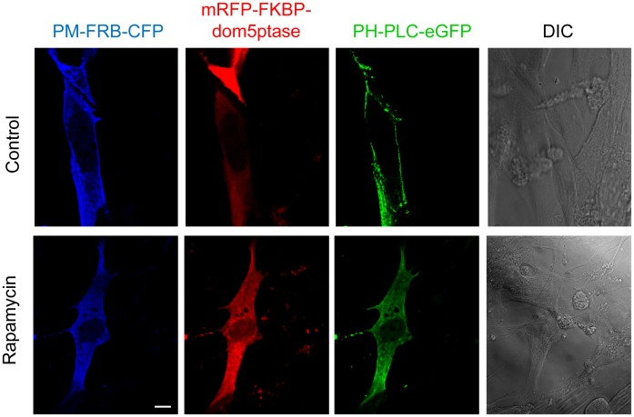 Depletion of PI(4,5)P 2 from plasma membrane after rapamycin-induced membrane targeting of an inositol 5-phosphatase. BHK-21 cells were cotransfected with PM-FRB-CFP (blue), mRFP-FKBP-dom5ptase (red) and PH-PLC-eGFP (green) plasmids using Lipofectamine Plus. At 24 h post-transfection, cells were treated with 10 nM rapamycin (10 min) to induce the depletion of PI(4,5)P 2 from plasma membrane. Then cells were fixed and observed by confocal microscopy. A representative example of a co-transfected cell is shown. See text for details regarding the inducible system for PI(4,5)P 2 depletion. Differential interference contrast (DIC) images are also shown. Bar: 10 µm.