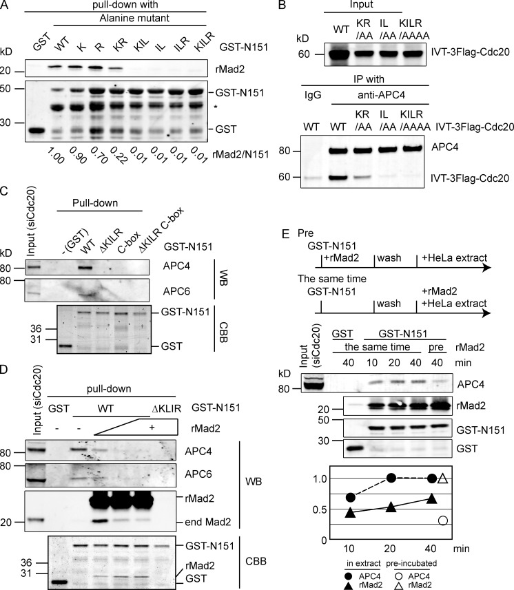 """Mad2 prevents Cdc20 from interacting with the APC/C. (A) The hydrophobic core of the KILR motif is essential to bind Mad2. E. coli extracts expressing GST, GST fused to the N terminus of wild-type Cdc20, or the indicated mutants were incubated with recombinant human Mad2 for 30 min at 4°C and purified with glutathione–Sepharose, and the amount of Mad2 was analyzed by quantitative immunoblotting. Relative amount of Mad2 bound is shown at the bottom. Results are representative of three independent experiments. Asterisk shows a truncated form of Cdc20 that does not bind Mad2. (B) The IL motif is required to bind to the APC/C. In vitro translated (IVT) full-length 3×Flag–wild-type Cdc20 or the indicated mutants were analyzed as in Fig. 2 C . Results are representative of three independent experiments. (C) The KILR and C box motifs are required for the N terminus of Cdc20 to interact with the APC/C. GST fusion proteins of the N terminus of Cdc20 (N151), wild type, and the indicated mutants were incubated for 40 min at 4°C with mitotic extracts depleted of endogenous Cdc20. Proteins retained on the beads were analyzed by quantitative immunoblotting with the indicated antibodies. Results are representative of three independent experiments. (D and E) Mad2 competes with the APC/C for binding to the KILR motif. (D) GST or GST fusion proteins of the N terminus of wild-type Cdc20 or the ΔKILR mutant were incubated with recombinant Mad2 and mitotic HeLa cell extracts as in C. The APC/C bound to the beads was analyzed by quantitative immunoblotting with the indicated antibodies (Western blot [WB]). Recombinant proteins were also detected by Coomassie blue staining (CBB). (E) GST or GST fusion proteins were prebound to gluthatione–Sepharose and incubated with mitotic extract plus recombinant Mad2. """"Pre"""" indicates the fusion protein was incubated with Mad2 before the mitotic extract. Mad2 was added in fourfold excess over the amount of GST-N151. Samples were analyzed by quantitativ"""