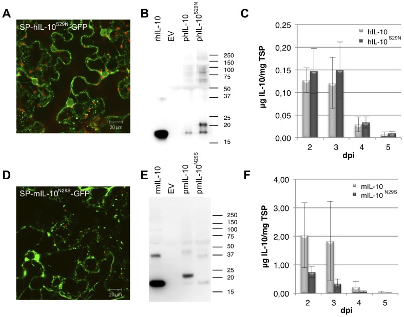 Analysis of the effect of N -glycosylation at Asn29 on granulation. Glycosylation of IL-10 plays a role in preventing granulation. (A/B) Whole mount confocal microscopy output of leaves expressing GFP fused C-terminally to human (h) and mouse (m) IL-10 including native signal peptide (SP) and with introduced (S29N) or removed (N29S) glycosylation site, respectively. (C/D) Western blot analysis under reducing conditions of plant produced (p) hIL-10 and mIL-10 with and without glycosylation site. As controls, empty vector (EV) and 50 ng recombinant (r) E. coli produced hL-10 and mIL-10 were used. A molecular weight marker is indicated in kDa. (E/F) Yield of hIL-10 and mIL-10 with and without glycosylation site in crude extracts 2 to 5 days post infiltration (dpi) as determined by ELISA ( n = 4, error bars indicate standard error).