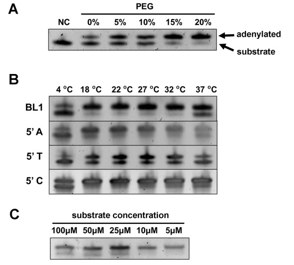 Adenylation of 3' adapter using <t>T4</t> RNA ligase 1. ( A ) Effect of PEG8000 concentration on adenylation efficiency. A synthetic oligo BL1 mimicking the first small RNA cloning linker reported by Lau et al. (2001) was adenylated overnight with 1 U/μL T4 RNA ligase at various PEG concentration. Non-adenylated oligo as the negative control (NC) is loaded on the left lane. ( B ) Effect of temperature and 5' nucleotide composition on adenylation efficiency. Oligos were adenylated overnight in the presence of 20% PEG8000 at various temperatures. ( C ) Impact of oligo concentration on adenylation efficiency. Substrates with different concentrations were adenylated overnight with 20% PEG8000 at room temperature. All adenylation products were analyzed on the 20% denatured PAGE, stained with SYBR-Gold and photograph under UV.