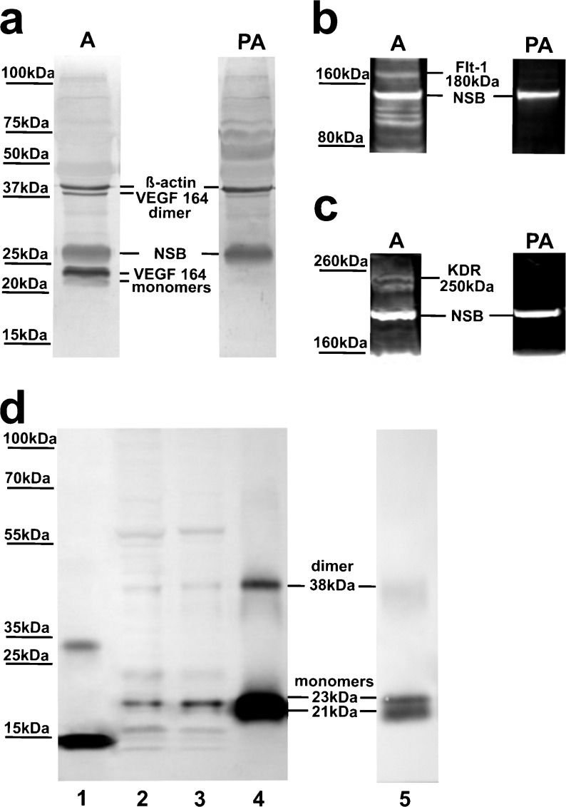 Specificity of the VEGF-A ( a ), Flt-1 ( b ) and KDR ( c ) antibodies in western blot analyses of ovine choroid plexus (CP) homogenates. Samples were probed with either free antibody or antibody pre-adsorbed with specific control peptides. d Representative blots of recombinant human (rh)VEGF-A 121 ( line 1 ), ovine CPs ( lines 2 and 3 ) and rhVEGF-A 165 ( lines 4 and 5 ) resolved by SDS-PAGE and immunoblotted with VEGF-A antibodies used in ( a ). Blots in ( a ) were re-probed with β-actin antibodies. A antibodies, PA pre-adsorbed antibodies, NSB non-specific binding
