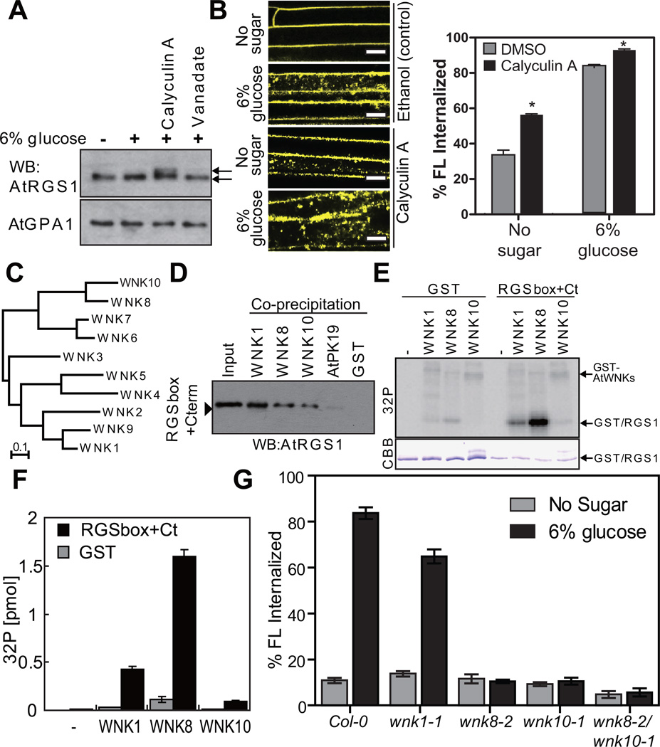 In vivo and In vitro function of AtWNK8 ( A ) In vivo phosphorylation of AtRGS1. Seedlings expressing AtRGS1-TAP were pretreated with 100 nM calyculin A and 10 mM sodium orthovanadate for 3 h followed by 6% D-glucose stimulation for 90 min. AtRGS1-TAP or AtGPA1 in seedling lysates was separated on a 12.5% Anderson's gel and detected by immunoblot with peroxidase anti-peroxidase or anti-AtGPA1 antibody. ( B ) Four-day-old AtRGS1-YFP expressing seedlings were treated with phosphatase inhibitors, calyculin A, for 2 h followed by 6% glucose treatment or not (No glucose) for 1 h prior to imaging epidermal cells. Scale bars = 10 µm. Error = SEM, n = 5. ( C ) Phylogenetic tree of the AtWNK-family kinases. Full-length amino acid sequences were aligned with CLUSTAL W implemented in CLC Genomics Workbench using the following settings; Gap open penalty, 10; Gap extension penalty 1. The neighbor joining tree (1000 bootstrap replicate) was created with the aligned sequences. ( D ) In vitro binding between AtRGS1 and AtWNKs. Recombinant RGSbox+Cterm was tested for interaction with GST (negative control) or GST-AtWNKs using glutathione-Sepharose, and detected by immunoblot analysis using an anti-AtRGS1 antibody. ( E ) In vitro phosphorylation of AtRGS1 by AtWNK kinases. Recombinant GST or His-RGSbox+Cterm was incubated with GST-AtWNKs in reaction buffer containing γ 32 P-ATP. Proteins were separated on SDS-PAGE. ( F ) Radioactivity incorporated into the GST/RGS1 bands. Phosphorylation levels of three independent experiments were quantified in (E). Error bars = SEM. ( G ) Quantitation of sugar-induced AtRGS1 internalization in AtWNK-null mutants. Seedlings of Col-0, wnk1-1 , wnk8-1 , wnk8-2 or wnk10-2 transiently expressing AtRGS1-YFP were treated with 6% D-glucose for 30 min. WNK# denotes AtWNK members in panels C-F. Error bars = SEM, n = 5. Quantitation of fluorescence is described in Methods .