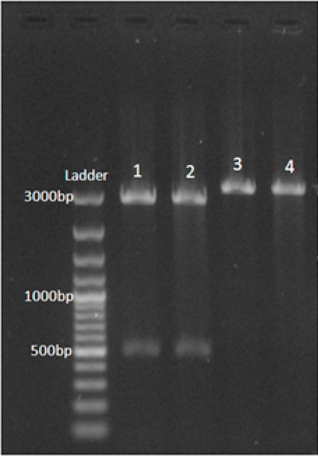 Digestion of pTZ57R/T plasmid containing EG95 fragment by EcoRI and XhoI restriction enzymes. Lane 1 2: double digestion, Lane 3 4: mono digestion