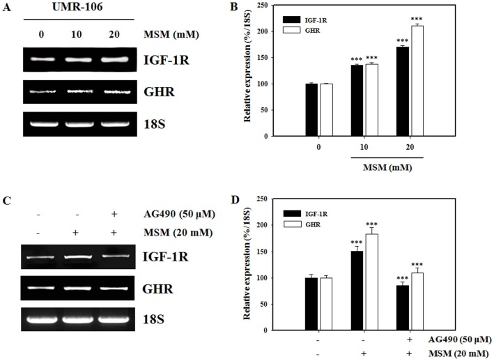 Methylsulfonylmethane (MSM) activates the expression of growth hormone (GH) signaling-related mRNA in UMR 106 cells. Total RNA was isolated from the UMR-106 cells using an RNeasy kit. The cDNA was amplified using specific primers for insulin like growth factor-1 receptor (IGF-1R), the growth hormone receptor (GHR) or 18S. 18S was used as a control. (A) UMR-106 cells were treated with the indicated concentrations of MSM for 24 h. (B) The relative levels of IGF-1R and GHR mRNA were determined using densitometric analysis and normalized to the amount of 18S. (C) UMR-106 cells were left untreated or pretreated with 50 µM AG490 for 4 h then treated with MSM for 24 h. (D) The relative levels of IGF-1R and GHR mRNA were determined using densitometric analysis and normalized to the amount of 18S. Data shown are representative of three independent experiments. Asterisks indicate a statistically significant increase by ANOVA (***p