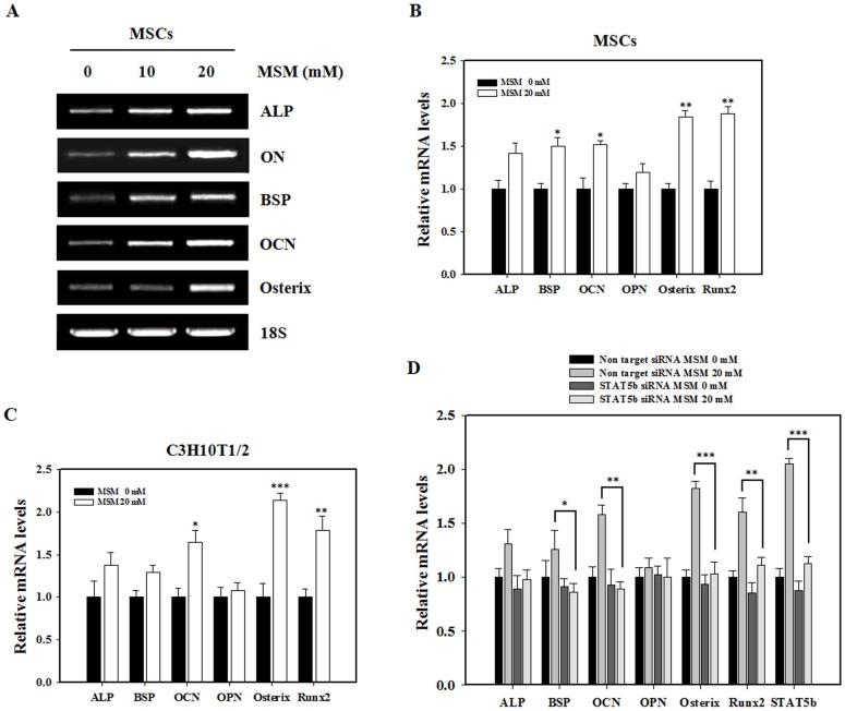 Involvement of STAT5b in MSM-induced osteogenic marker genes in MSCs. (A) Bone marrow mesenchymal stem cells were cultured in the osteogenic medium at 5 days for ALP, 14 days for osteonectin (ON) and bone sialoprotein (BSP), and 21 days for osteocalcin (OCN) and osterix mRNA expression after the treatment with various concentrations (0, 10 and 20 mM) of MSM. RT-PCR was performed using the cDNA and primers for ALP, ON, BSP, OCN, osterix and 18S. Total RNA was isolated from the MSCs using an RNeasy kit. 18S was used as a control. (B) Bone marrow Mesenchymal stem cells and (C) C3H10T1/2 cells were cultured in osteogenic medium at 5 days for ALP and Runx2, 14 days for OPN and BSP, and 21 days for OCN and osterix mRNA expression after the treatment with 20 mM MSM. After culture, real-time PCR was performed. (D) Osteogenic differentiation marker genes (ALP, BSP, OCN, OPN, Osterix and Runx2) and STAT5b gene expression was analyzed at day 5, 14 and 21 after MSM treatment in C3H10T1/2 cells transfected with STAT5b siRNA or non-target siRNA. The effect of STAT5b knockdown on osteogenic marker genes was analyzed by real-time PCR. GAPDH was used as the internal control. The relative levels of mRNA were determined using densitometric analysis and normalized to the amount of GAPDH. Data shown are representative of three independent experiments. Asterisks indicate a statistically significant increase by t-test (*p