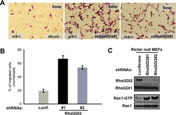 RhoGDI2 suppresses activity of Rac and Cdc42 GTPases and inhibits cell migration in the rictor null cells. (a) The cell images indicating the cell migration efficiency of the rictor null cells with or without knock down of RhoGDI2. The transwell cell migration assay was perfomed as in Fig. 1A . (b) The diagram indicating the percentage of migrated cells shown in (a). (c) Immunoblotting of the cellular lysates and pull down of the GTP-bound Rac1 obtained from cells shown in (a) to detect abundance of RhoGDI2 and Rac1 activity.