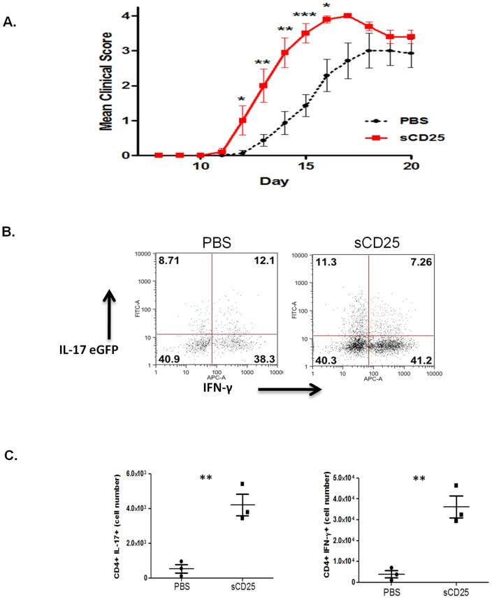Exogenous sCD25 exacerbates autoimmunity. ( A ) MOG 33−55 immunized C57BL/6 mice developed clinical symptoms of EAE from day 12 after immunization with a peak of disease severity observed from day 19. Subcutaneous administration of recombinant sCD25 (25 µg/mouse) immediately prior to immunization and every 12 hours thereafter for 72 hrs resulted in a significant exacerbation in severity of symptoms during disease onset and induction. 6–7 mice used per group. ( B ) Mononuclear cells harvested from spinal cords of control (PBS) and sCD25 treated IL-17A-eGFP reporter mice (3 per group) on day 15 after immunization and analysed for expression of IL-17 and IFN-γ by CD4+ cells. ( C ) Cell numbers of CD4+IL-17+ and CD4+ IFNγ+ cells in spinal cords of IL-17A-eGFP reporter mice at day 15. Data representative of mean +/− std dev of 3 mice per group and 2 independent experiments.