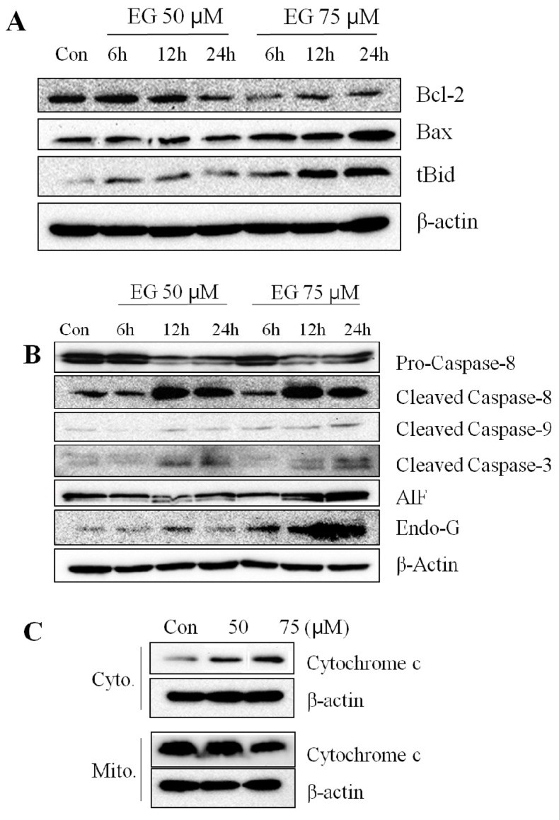 Effect of EG on the expression of apoptosis-associated proteins in HL-60 cells. HL-60 cells (5 × 10 5 cells) were treated with 50 μM or 75 μM EG for 6 h, 12 h, or 24 h. Cell lysates were resolved by SDS-PAGE and subjected to western blotting. ( A ) Bcl-2, Bax, and tBid. Con: Control, Cyto: cytosol, Mito: mitochondria; ( B ) <t>Caspase-8,</t> caspase-9, caspase-3, apoptosis-inducing factor (AIF), and Endo G; ( C ) Cytochrome c . These results presented are representative of data obtained from three independent experiments carried out in triplicate. These results presented are representative of data obtained from three independent experiments carried out in triplicate.