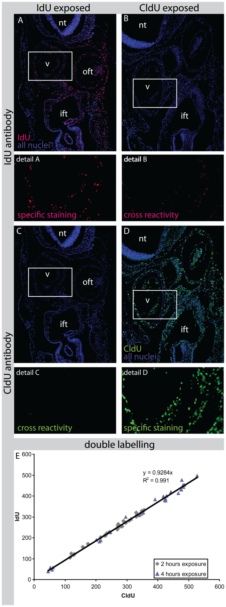 Cross-reactivity and validation of antibody staining. Section of an embryo exposed to IdU shows specific staining using an antibody against IdU (Panel A). When an antibody against CldU is used there is no aspecific staining visible (Panel C). When an embryo is exposed to CldU and an antibody agains IdU is used some cross reactivity is observed (Panel B). Panel D shows specific staining for CldU. Abbreviations: ift: Inflow Tract; nt: Neural Tubel; oft: Outflow Tract; v: Ventricle. Panel E shows the relation between the number of nuclei labelled for IdU and for CldU at equal exposure times. Each point represents a section. There was no significant difference between 2 and 4 hours of exposure time. The linear relation shows a high correlation coefficient (R 2 = 0.991) and detection of 7.2% less IdU than CldU positive nuclei.