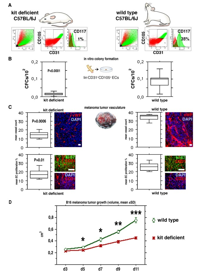 A genetic deficit in endothelial c-kit expression decreases colony-forming VESCs and results in impaired EC proliferation and angiogenesis, and retardation of tumor growth in vivo. (A) Equivalent lin−CD31+CD105+ EC populations were detected in mutant C57BL/6J mice with a genetic c-kit expression deficit (C57BL/6J-Kit W-sh mice) and in the wt C57BL/6J controls. However, the Kit W-sh mutant mice have very low numbers of CD117+ ECs (here 1% of total lin−CD31+CD105+ ECs). Typical results from FACS analysis of lung ECs are shown. Histograms indicate the percentage of CD117+ cells, control IgG labeling and gatings are also shown. (B) lin−CD31+CD105+ ECs from kit deficient Kit W-sh mutant mice contain abnormally low levels of endothelial CFCs in comparison to wt mice ( p