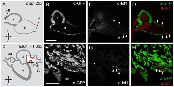 Isl1 expression in the embryonic and adult zebrafish heart. Single confocal scans of a fluorescent antibody labeling of Isl1 and eGFP in embryonic (2 dpf) ( A–D ) and adult ( E–H ) zebrafish expressing Tg(myl7:eGFP) in all cardiomyocytes. GFP + cardiomyocytes are displayed in grey (B, F) and in green in (D, H). Isl1 is shown in grey (C, G) and in red (D, H). Arrowheads indicate Isl + /GFP + cells. Illustrations of a lateral view of a 2 dpf (A) and adult (E) zebrafish heart indicate the location of Isl1 + cells (red). The box in panel E represents the area shown in (F–H). ( B–D ) Fluorescent immunolabeling of Isl1 and eGFP in a 2 dpf embryo (sagittal section 100 µm). At this time point Isl1 + /GFP + cells were only found in the IFT of the heart. ( F–H ) Fluorescent immunolabeling of Isl1 and eGFP in an adult zebrafish heart (sagittal section 100 µm). Isl1 + /GFP + cells are located at the junction of the sinus venosus and atrium in the inflow region of the heart (arrowheads). Isl1 + cells showed low expression of myl7 . v, ventricle; a, atrium; oft, outflow tract; ift, inflow tract; ba, bulbus arteriosus; sv, sinus venosus; a, anterior; p, posterior; d, dorsal; v, ventral. Scale bars represent 50 µm.