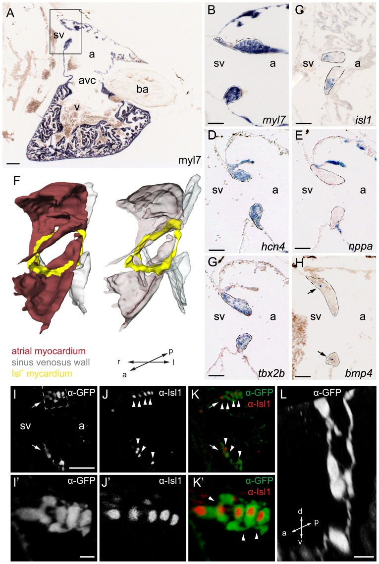Molecular characterization of the adult isl1 expression domain. ( A–E,G,H ) Section in-situ hybridizations on adult wild-type zebrafish hearts. Probes are indicated in the panels. (A) 4-chamber view of a sagittal section through zebrafish heart labeled with the myocardial marker myl7. The box indicates the region shown enlarged in panels B–E,G,H. Demarcated areas (C) indicate isl1 expression in the tbx2b+ hcn4+ nppa- myocardium at the base of the valves surrounding the sinoatrial junction. BMP4 signal is pointed at in the valves by arrowheads in (H). ( F ) 3D reconstruction of the sinoatrial junction. isl1 (yellow) is expressed around the entire sinoatrial junction, forming a ring-like structure. ( I–L ) Reconstruction of a confocal scan through a sagittal section of the inflow region of adult Tg(isl1BAC:GalFF; UAS:GFP) transgenic zebrafish heart. Fluorescent antibody labeling for GFP (shown in grey (I, I', L) or green (K, K')) and for Isl1 (shown in grey (J, J') or red (K, K')). GFP+/Isl1+ cells were found in bilateral populations at the sinoatrial junction (arrows). (I'–K') Enlargement of the GFP+/Isl1+ cells at the dorsal rim of the inflow tract (indicated with dashed box in (I)). Nuclei of GFP+ cells were positive for Isl1 (arrowheads). (L) Enlargement of GFP+ cells (transverse section) shows a string of contiguous cells. a, atrium; avc, atrioventricular canal; ba, bulbus arteriosus; sv, sinus venosus; v, ventricle; l, left; r, right; a, anterior; p, posterior; d, dorsal; v, ventral. Scale bars represent 50 µm (A–G, I–K) or 10 µm (I'–K',L).