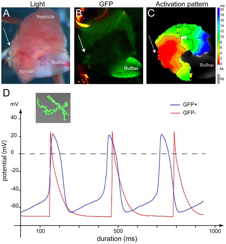 Isl1 cells have pacemaker activity. ( A–C ) Optical mapping on an explanted, contracting adult zebrafish tg(isl1BAC:GalFF; UAS:GFP) heart. Arrow indicates the sinus venosus in all panels. (A) Explanted adult zebrafish heart. (B) GFP-fluorescent cells reporting Isl1 expression are situated at the sinus venosus. (C) The activation pattern measured by di-4-ANEPPS fluorescence shows that the GFP+ myocytes are situated in the area of earliest activation. ( D ) Typical action potentials of freshly isolated GFP + and GFP − myocytes. The GFP − cell was stimulated at 3 Hz. The inset displays a representative example of a GFP+ myocyte.