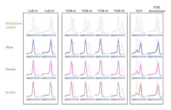 """Methylation detection of CaR and VDR promoter regions in parathyroid glands. Analysis of the CaR and VDR promoter regions by PCR melting curve analysis after bisulfite treatment of genomic DNA. CaR is covered by PCR products CaR #1-2, and VDR is covered by PCR products VDR #1–4. Commercial low- and high-methylated rat DNA is analyzed in all of the PCR reactions shown in the """"Methylation control"""" panel in green and red, respectively; it is also included in the """"Sham,"""" """"Uremia,"""" and """" in vitro """" panels. Control of methylation detection verified high levels of methylation in H19 and VDR downstream gene regions."""