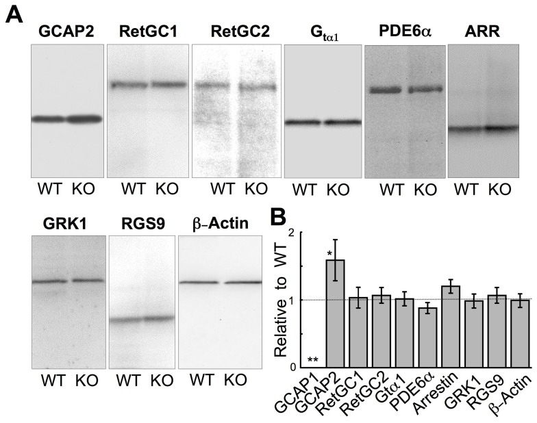 Photoreceptor protein expression in GCAP1 −/− retina. A. Immunoblots of SDS polyacrylamide gels containing samples from WT and GCAP1 KO retinas probed with antibodies raised against GCAP2, RetGC1, RetGC2, rod α-transducin (Gtα1), PDE6, arrestin 1 (ARR), GRK1, RGS9, and <t>β-actin,</t> as indicated. B. Average (± SD) integrated chemiluminescence signal intensity in the band for the corresponding antigen in GCAP1 −/− retina relative to the WT for GCAP1 (n = 5), GCAP2 (n = 7), RetGC1 (n = 3), RetGC2 (n = 3), rod α-transducin (n = 3), PDE6 (n = 3), arrestin (n = 3), GRK1 (n = 3), RGS9 (n = 3), and β-actin (n = 3). When compared by one-way ANOVA with Bonferroni's post hoc test (alpha = 0.01), there were significant differences found in GCAP1 (**) and GCAP2 (*) contents (P