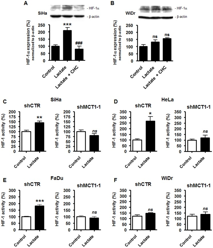 Targeting MCT1 inhibits lactate-induced but not basal HIF-1 activity in tumor cells. (A) SiHa TCs were cultured during 24-h in fresh medium containing 10 mM lactate, lactate +5 mM α-cyano-4-hydroxycinnamate (CHC), or none of the drugs. HIF-1α and β-actin were detected using Western blotting. The upper panels show a representative experiment and the graph shows HIF-1α protein expression normalized to β-actin. *** p