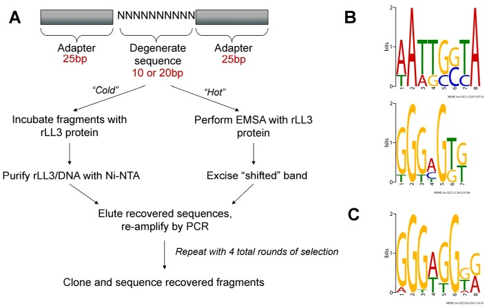 """PCR-assisted DNA-binding site selection reveals consensus LL3 DNA-binding motifs. (A) Experimental outline of the two methods [""""cold"""" (non-radioactive) or """"hot"""" (radioactive)] used to obtain consensus DNA binding sites for rLL3 by PCR-assisted DNA-binding site selection. Consensus motifs obtained from the """"cold"""" method using a 10 bp degenerate sequence (B) or from the 20 bp degenerate sequences recovered using the """"hot"""" method (C) are shown to the right. All recovered sequences used as input to generate the consensus motifs are listed in Table S2 and all motifs generated by the MEME program are displayed in Figure S4 . EMSA: Electrophoretic Mobility-Shift Assay."""