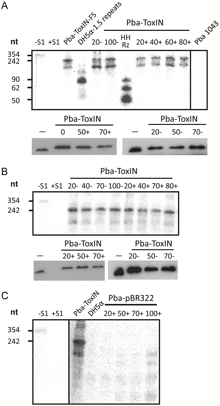 ΦTE-F expresses ToxI RNA during infection. (A) Upper panel; an S1-nuclease protection assay was used to detect ToxI levels from a ToxIN plasmid during ΦTE wt infection, using an antisense probe against the full 5.5 repeat ToxI sequence [46] . The antisense ToxI-probe was first hybridised to 10 µg of total RNA prepared from Pba ToxIN (pMJ4) at different times after ΦTE infection, and then followed by S1-nuclease treatment. Numbers (+) indicate the time (min) after infection or (−) without the addition of phage. Pba ToxIN-FS (pTA47) and Pba serve as positive and negative controls, respectively. A non-hybridized S1-digested probe (+S1) serves as a further negative control. <t>DH5α</t> 1.5 repeats (pTA96), a non-S1 digested probe (−S1) and an in vitro transcribed Hammerhead ribozyme (HHRz), which cleaves itself during transcription, serve as size markers. HHRz was prepared as described previously [45] . Lower panel; Western blot targeting C-terminal FLAG tagged ToxN contained within total protein harvested from Pba ToxIN (pMJ4) at different time points, with (+, left) and without (−, right) phage infection. Time 0 indicates a sample taken immediately after infection. Total protein from Pba ToxIN (pMJ4) (−) serves as positive control. (B) Infection with escape phage ΦTE-F. Levels of ToxI were determined by S1-assay (upper) as described in (A) with and without infection. ToxN levels were estimated by Western blotting (lower) as described in (A). (C) Expression of the ΦTE-F ToxI locus. An S1-nuclease assay targeting ToxI was performed on total RNA of Pba (pBR322) at different times during ΦTE-F infection. Pba ToxIN (pMJ4) and DH5α serve as positive and negative controls, respectively.