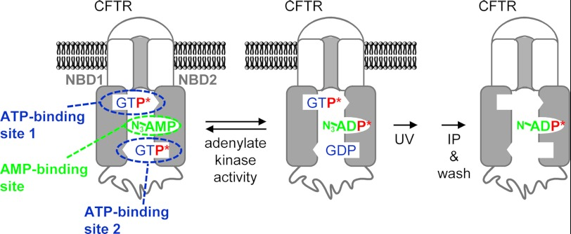 Model of CFTR labeling through phosphoryl group transfer between [γ- 32 P]GTP and N 3 -AMP followed by UV-mediated cross-linking of the resulting N 3 -[β- 32 P]ADP and solubilization and immunoprecipitation ( IP ) of CFTR. P * indicates a radioactive phosphoryl group containing 32 P. In each NBD, the open rectangle represents the Walker A motif, and the open triangle represents the signature motif. The binding site for AMP is not known.