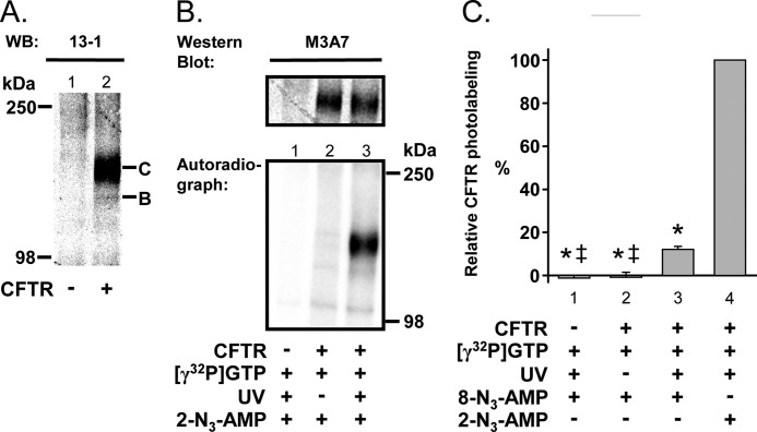 Membrane-inserted CFTR catalyzes phosphotransfer from [γ- 32 P]GTP to N 3 -AMP. A , Western blot ( WB ) probed with antibody 13-1. Letters label highly ( C ) and core glycosylated ( B ) CFTR. Each lane represents 30 μg of membrane protein. B , autoradiograph and Western blot (probed with antibody M3A7) of the same gel. Experiments were performed as illustrated in Fig. 1 . Experimental conditions are indicated below the lanes. N 3 -AMP concentration was 65 μ m . Comparing the autoradiograph and Western blot corroborated that the labeled band was CFTR. C , CFTR photolabeling with 8-N 3 -AMP and 2-N 3 -AMP. N 3 -AMP concentration was 65 μ m . To compare the results from different autoradiographs, data were normalized to CFTR radioactivity under conditions indicated below bar 4. Asterisks indicate p ≤ 0.001 when compared with bar 4, and double daggers indicate p ≤ 0.001 when compared with bar 3 (one-way analysis of variance followed by the Holm-Sidak method for multiple comparisons, n = 3).